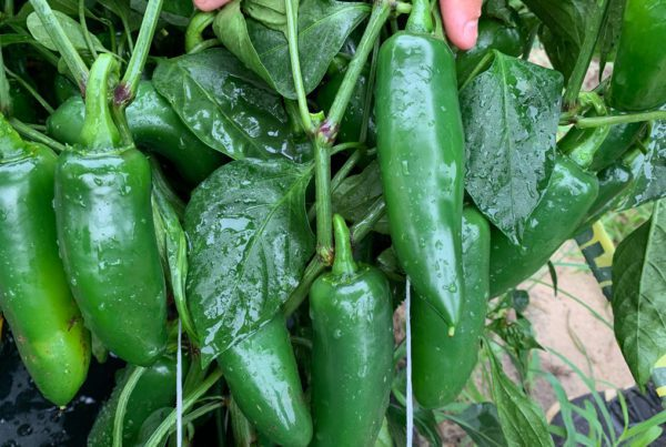 Colussus Jalapeno Pepper