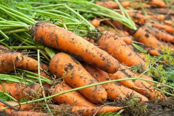 Kuroda Carrot
