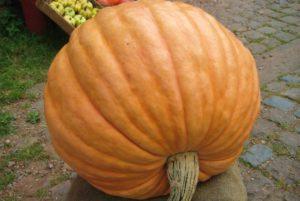 Mammoth Gold Pumpkin