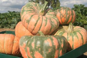 Speckled Hound Squash