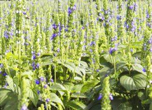 chia-plant