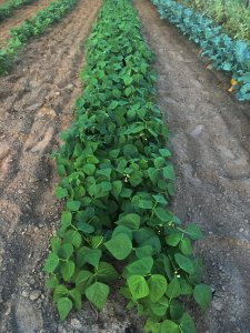Double Row Planting On Drip Irrigation Maximize Garden Space