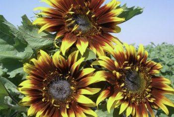 Joker Sunflower