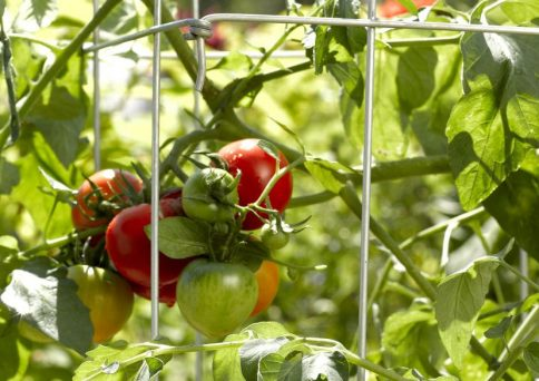 Hoss Tomato Cages