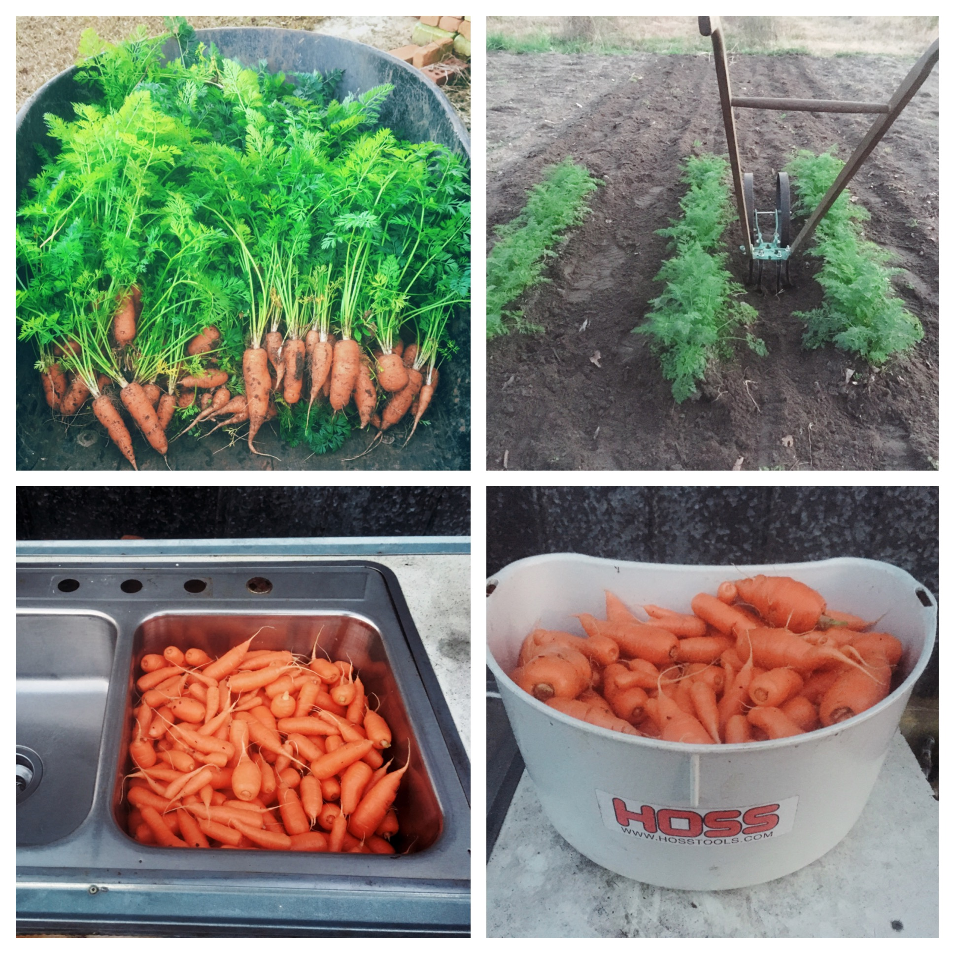 Pelleted Carrot Seed Planting Carrots With A Garden Seeder